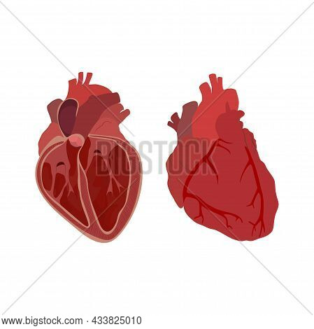 Internal Inside And External Structure Of The Heart. Pulmonary Valve Closed. Vector Flat Anatomy Med