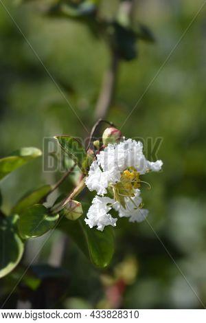 Crepe Myrtle White Sensation - Latin Name - Lagerstroemia Indica White Sensation