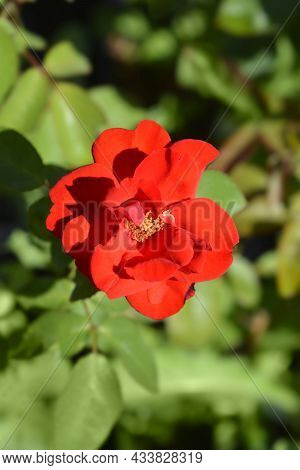 Rose Alain Red Flower - Latin Name - Rosa Alain