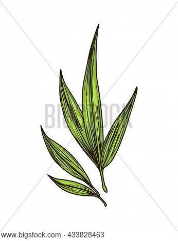 Cane Sugar. Sugarcane Plant. Engraving Hand Drawn Natural Organic Food Or Natural Ingredient. Fresh