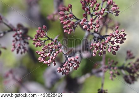 Orpine Purple Emperor Flower Buds - Latin Name - Hylotelephium Telephium Purple Emperor (sedum Telep