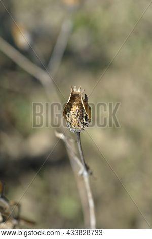 White Campion Seed Pod - Latin Name - Silene Latifolia Subsp. Alba