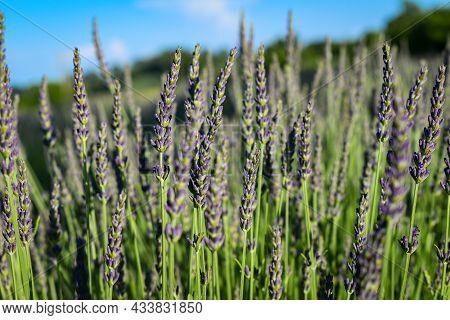 Lavender Stems On The Lavender Field In Vojvodina, Serbia