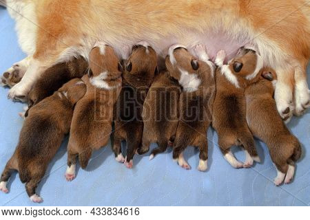Eight Cute Puppies Of Welsh Corgi Pembrokes Eat Their Mother, Ginger And White Dog Female Lying Down