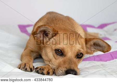 Cute Little Mixed-breed Dog With Sad Eyes Lying Down On White Blanket At Home And Looking At The Cam