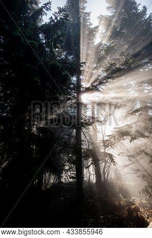 Silhouette Of A Tree In Sunlight Giving Beautiful Sunbeams | Sun Shining Through A Coniferous Tree B