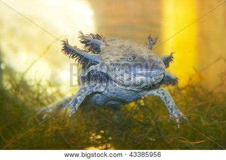 Gray Axolotl