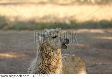 One Cute Lama In Nature Reserve On Sunny Day