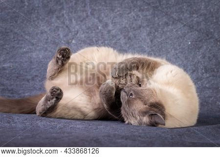 A Thai Siamese Cat Lies And Plays With A Ball Of Thread.