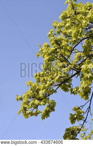 Norway Maple Branches With New Leaves And Flowers Against Blue Sky - Latin Name - Acer Platanoides