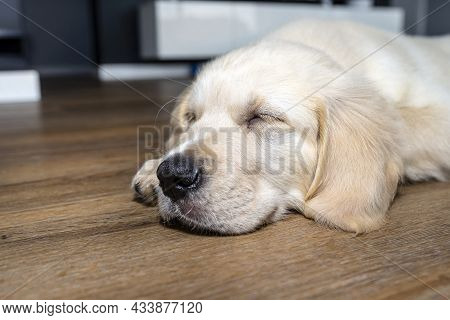 The Golden Retriever Puppy Sleeping On Modern Vinyl Panels In The Living Room Of The House, Visible