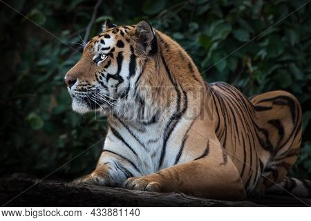 A Cheerful Striped Tiger Looks Attentively, The Amur Tiger Sits On A Background Of Dark Vegetation