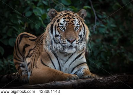 A Cheerful Striped Tiger Is Looking At You Full-face, The Amur Tiger Sits On The Background Of Dark