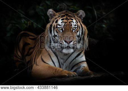 A Tiger Looks Calmly And Calmly, An Amur Tiger At Night Darkness