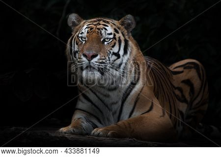 Raised Up Before Throwing. Startled From Sitting Tiger, Amur Tiger, Black Background