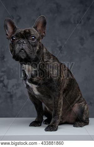 Lovable Black French Bulldog Posing Against Dark Background