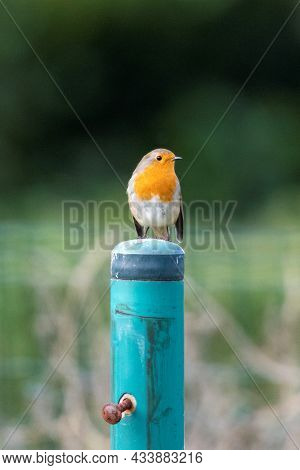 A Portrait Of A Robin Bird Sitting On A Green Post. The Animal Is Also Called A Redbreast Or Looking