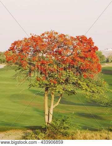 Flame Tree With Full Of Red Fiery Flowers On Spring Season In A Green Field.