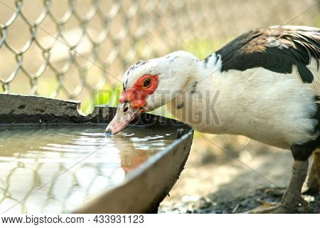 Duck Feed On Traditional Rural Barnyard. Detail Of A Waterbird Drinking Water On Barn Yard. Free Ran