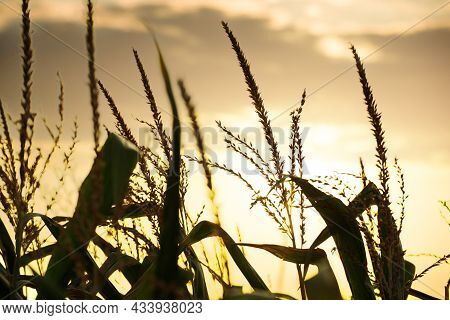 Maize Stalks On Cloudy Evening Sky Dramatic Background During Sunset