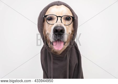 A Dog With Glasses In A Dark Gray Sweatshirt Sits On A White Background. Golden Retriever Dressed As