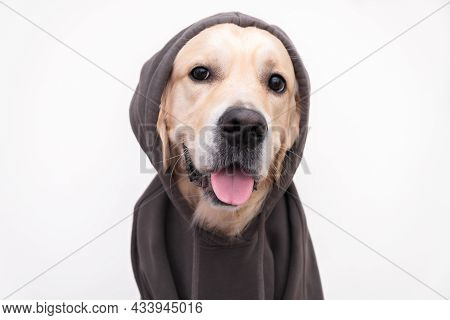 Portrait Of A Dog In A Dark Gray Sweatshirt With A Hood. Golden Retriever In Clothes Sits On A White