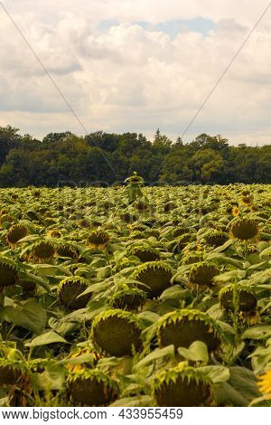 Field With Sunflowers. In The Background Is A Forest. Sky With Clouds Illuminated By The Sun.