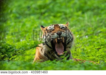 Angry Wild Royal Bengal Male Tiger Yawing With Long Canines In Natural Monsoon Green Rainy Season Du