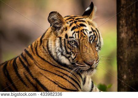 Wild Royal Bengal Male Tiger Portrait With Eye Contact In Outdoor Wildlife Safari At Bandhavgarh Nat