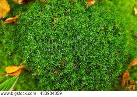 Stiff Clubmoss (lycopodium Annotinum) Covering Forest Floor In Ireland