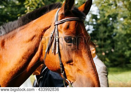 Brown Horse In Reins, Standing Outdoors, Close-up. Profile Portrait Of Horse Muzzle Looking Into Cam