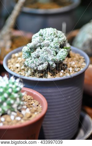 Cactus Or Euphorbia Or Euphorbia Lactea Cristata, Euphorbia Lactea