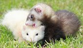 A pair of 8 week old ferret kits playing in the grass. poster