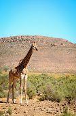One giraffe in wild african bush area poster