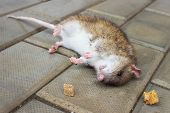 Redhead Rat poisoned by toxic bait lying on the floor poster
