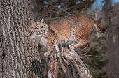 Bobcat (Lynx rufus) Stands on Stump - captive animal poster