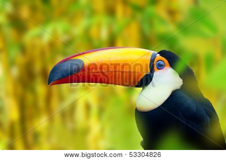 Colorful Toucan Bird. Profile photo.