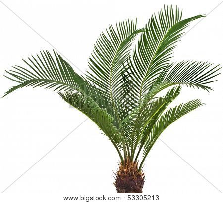 One Palm tree cycas revoluta isolated on white background
