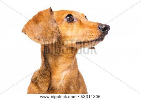 Dachshund Dog isolated on white