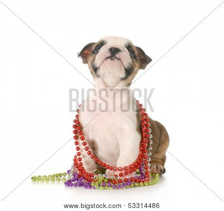 female bulldog puppy with colorful beads around neck isolated on white background - 7 weeks old poster