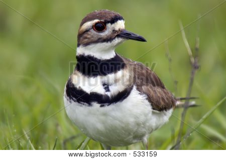 Killdeer In The Rain