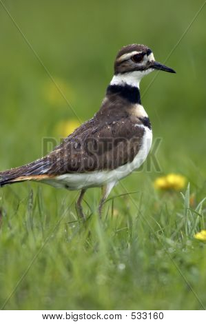 Killdeer Profile In The Rain