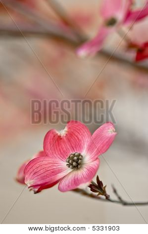 Beautiful Dogwood Blossoms With Copyspace