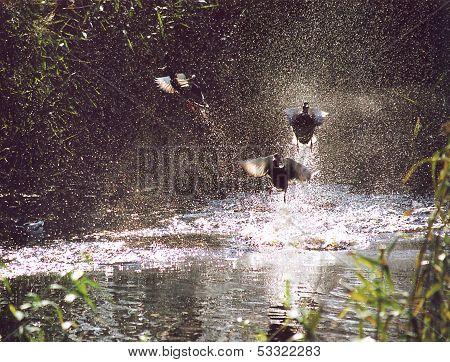 Take-off Of Ducks Among Splashes.