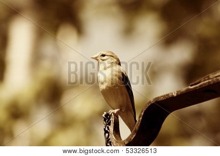 Female American Goldfinch in Sepia