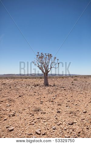 Generic Desert Scene With Quiver Tree At Midday