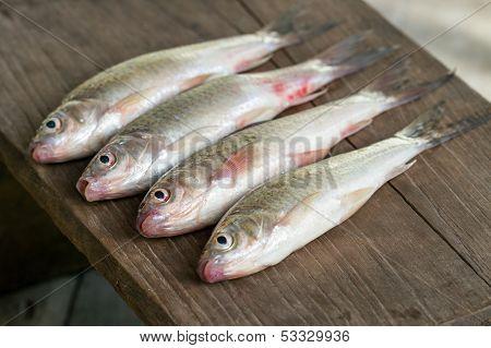 "Siamese mud carp fish - ""Henicorhynchus siamensis"" on wooden plate poster"