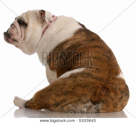 English Bulldog Sitting Facing Backwards