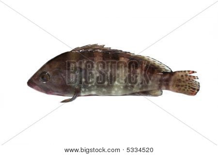 Grouperfish