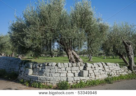landscape with stonewall and olive tree